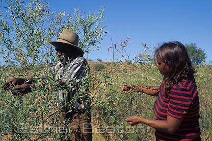"Aborigines near Alice Springs collected pods of Gundabluey Wattle (Acacia victoriae). ""Pick up wattle seed"""