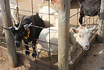 Little goats sticking their heads through the fence at petting farm.