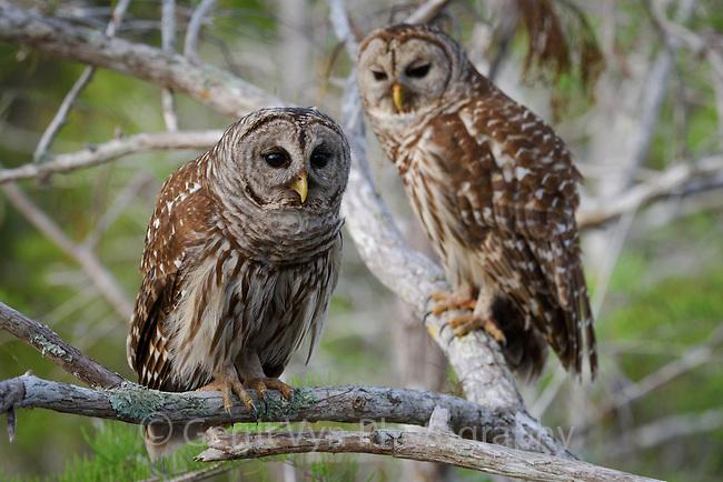 Barred Owl (Strix varia). Everglades National Park, Florida. March.