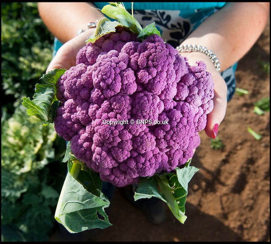 BNPS.co.uk (01202 558833)<br /> Picture: PhilYeomans/BNPS<br /> <br /> The Grafitti cauliflower.<br /> <br /> A farmer has launched a campaign to get more vegetables onto people's plates - by turning the common cauliflower bright shades of purple, green and orange.<br /> <br /> The 'rainbow' caulis are part of Andrew Burgess' masterplan to improve the diets of Brits by making vegetables more mouth-watering.<br /> <br /> Andrew hopes the colourful cauliflowers could reinvigorate the nation's love for vegetables - and also attract a new legion of fans.