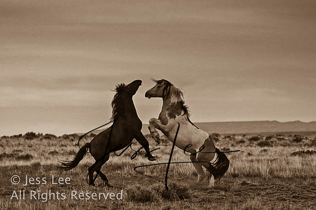 fighting mustangs,fighting MustangsMcCullough Peaks Mustangs Wild Horse Photography by western photographer Jess Lee. Pictures of mustangs in the West. Fine art images,Prints,photos Wild horse photo,wildhorses in the american west,