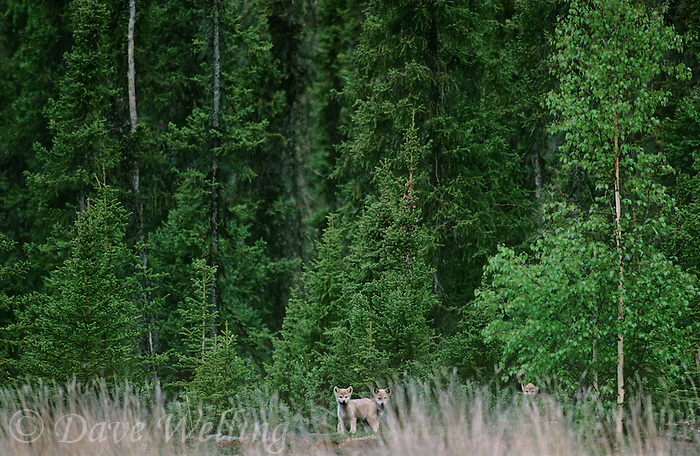694922560 three wild gray wolf pups canis lupus in a taiga forest near great slave lake northwest territories canada
