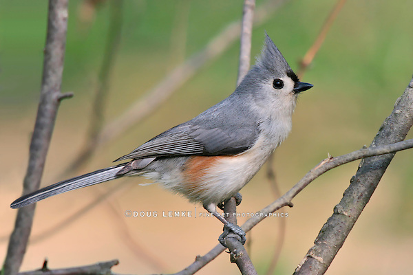 Tufted Titmouse, Parus bicolor, Posing In Profile With Crest Extended