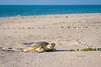 Australian flatback sea turtle, Natator depressus, female crawls up beach to nest in dunes at top of beach, Crab Island, off Cape York Peninsula, Torres Strait, Queensland, Australia