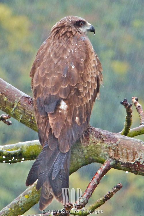 Hong Kong  The Black Kite (Milvus migrans) is a medium-sized bird of prey in the family Accipitridae, frequently seen in Hong Kong.  Hong Kong's iconic bird, the Black Kite, can be seen over much of the island, roosting in cotton trees, roosting during a monsoon or soaring over the city.