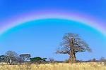 Rainbow over an African Baobab Tree (Adansonia digitata), Tarangire National Park, Tanzania, Africa.