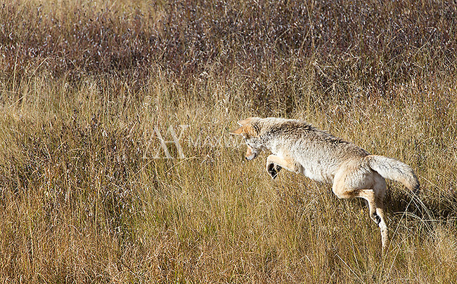 A coyote hunts in Hayden Valley.