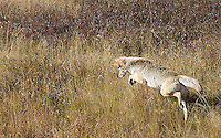 A coyote hunts in Hayden Valley.