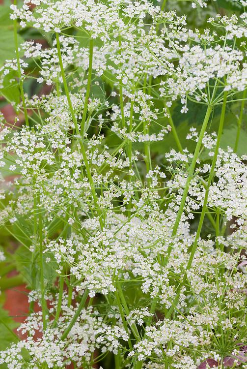 Carum carvi (Caraway) herb growing in garden