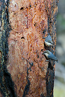 Pygmy Nuthatch (Sitta pygmaea) on side of ponderosa pine tree.  Western U.S., fall.  Nuthatches are looking for insects drawn to the sap flowing out of the woodpecker holes.