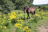 Pony, Pferd auf Weide, Wiese, Koppel, Pferdekoppel mit der giftigen Pflanze Gewöhnliches Jakobs-Greiskraut, Jakobsgreiskraut, Greiskraut, Senecio jacobaea, Jacobea, Staggerwort