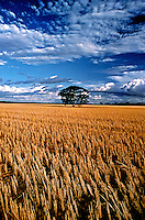 The Tree - standing alone in a cut wheat field east of Perth Western Australia- Images from the Book Journey Through Colour and Time