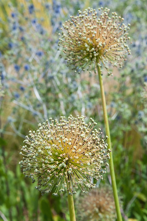 Seed heads of Allium 'Ambassador' against blue Eryngium, mid July.