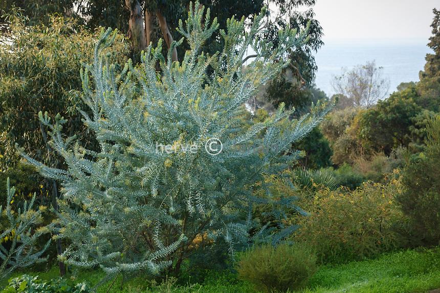 Le domaine du Rayol en f&eacute;vrier : mimosa (Acacia covenyi) // Acacia covenyi, Blue Bush<br /> <br /> <br /> (mention obligatoire du nom du jardin &amp; pas d'usage publicitaire sans autorisation pr&eacute;alable)