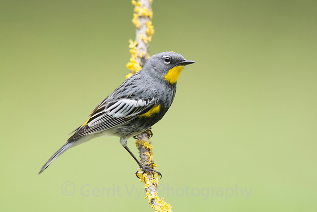 "Adult male ""Audubon's"" Yellow-rumped Warbler in breeding plumage. Kittitas County, Washington. May."