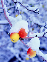 Voo374M.tif   Close up of yellow apples with snow. Summer Lake Inn, Oregon
