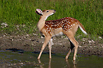 White-tailed fawn (Odocoileus virginianus) standing in a pond with his nose to the wind.  Summer 2005. Winter, WI.