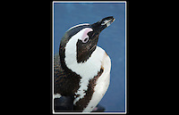 Blackfooted Penguin (Spheniscus demersus) - Zoological Society of London - 15th June 2003