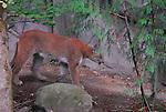 cougar, Portland