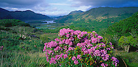 County Kerry, Ireland                  Flowering rhodendron at Ladies' View overlook with Upper Lake and the Long Range River in the distance