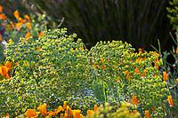 Euphorbia characias subsp. wulfenii Mediterranean spurge; McAvoy Garden - California summer-dry garden;