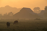 Barn and cows in pasture at sunrise, Arcata, Humboldt County, CALIFORNIA