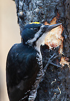 A Black-backed Woodpecker pauses after chipping a piece of bark off of a burned tree to expose the tunnels of wood-boring beetle larvae. Black-backed Woodpeckers may arrive at burned forests while some trees are still smoking. They are drawn to these stands by the presence of wood-boring larvae.