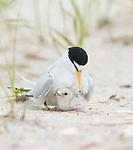 Least Tern (Sterna antillarum) adult brooding chick at nest, Nickerson Beach, Long Island, New York, USA