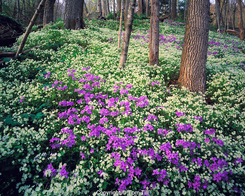 Hepatica & Spring Beauty, Great Smoky Mountains National Park, Chimneys Area, Tennessee