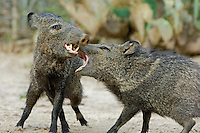 650520084 two adult wild javelinas dicotyles tajacu in mutual threat display with mouths open in the rio grande valley of south texas