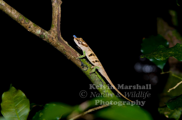 Calumma boettgeri or Boettger's chameleon or Blue-nosed Chameleon is a chameleon species that occurs in northern Madagascar and is said to be common in the forests of Nosy Be. Amber mountain - Northern Madagascar.