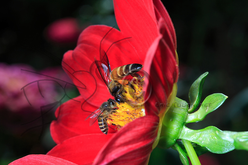 A giant bee with some pollen on her legs and a apis cerana bee are foraging a flower.