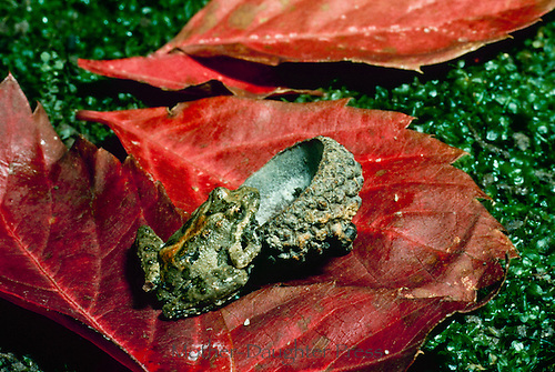 Blanchards cricket rog, Acris crepitans blancharrdi, with oak acorn and fall leaves, Missouri USA