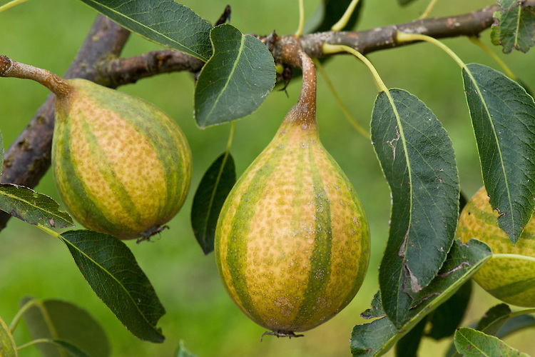 Green and yellow striped dessert pear 'Pysanka', mid August. Also sold as 'Humbug', the pear originates from the Ukraine, where it is sometimes called the Easter pear because it is stored over winter to be eaten in spring.