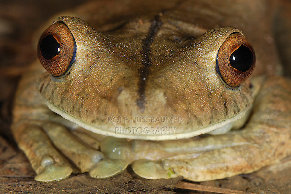 Gladiator Tree Frog head (Hypsiboas rosenbergi), adult, San Cipriano Reserve, Cauca, Colombia