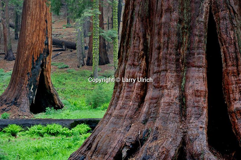 Giant sequoias<br /> Upper Mariposa Grove<br /> Yosemite National Park<br /> Sierra Nevada, California