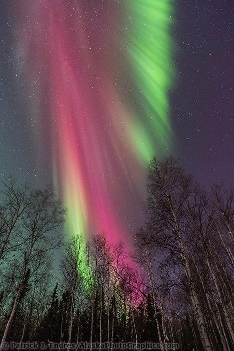 Vibrant red aurora borealis above the birch tree forest in Fairbanks, Alaska.