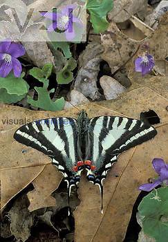 Zebra Swallowtail Butterfly ,Papilio marcellus,, Eastern USA.