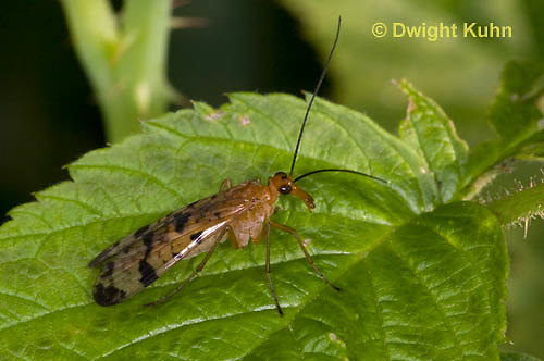 1F09-500z  Scorpionfly, Panorpa spp.