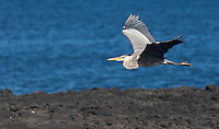 Great blue herons are sometimes seen along the coast.