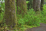 Olympic National Park, WA     <br /> Three old growth trees in the forest along the Hall of Mosses trail