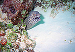 A spotted eel pokes his head out from under coral in search of a meal near Cedral Pass reef in Cozumel, Mexico.