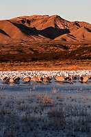 Sandhill cranes and snow geese stir as the warm of the sun returns and wait for the silent signal to blast off. Bosque del Apache National Wildlife Refuge in southern Socorro County, New Mexico.
