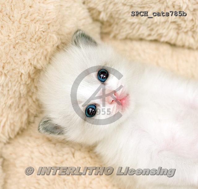 Xavier, ANIMALS, REALISTISCHE TIERE, ANIMALES REALISTICOS, cats, photos+++++,SPCHCATS785B,#a#