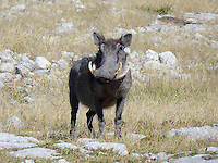 The Warthog or Common Warthog (Phacochoerus africanus) is a wild member of the pig family that lives in grassland, savanna, and woodland in Sub-Saharan Africa.