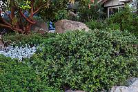 Arctostaphylos cruzensis - Arroyo De La Cruz Manzanita evergreen groundcover shrub in California native plant garden; Vincent Garden