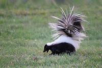 Hooded Skunk, San Angelo, TX