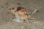 Nassa mud snails (Nassarius glans)