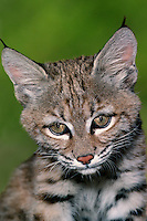 611009016 a portrait of a young bobcat felis rufus that is a wildlife rescue animal