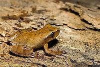 FR16-021b  Spring Peeper Tree Frog  -  Pseudacris crucifer, formerly Hyla crucifer